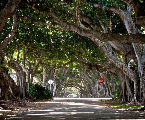 Coral Way Banyan Trees